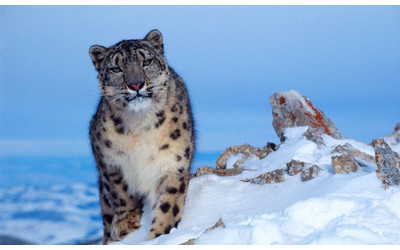 UN to allocate $6.5 million for preservation of snow leopards in Uzbekistan