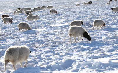 Red Cross responds as Mongolian herders struggle to survive winter Dzud amidst rising livestock deaths