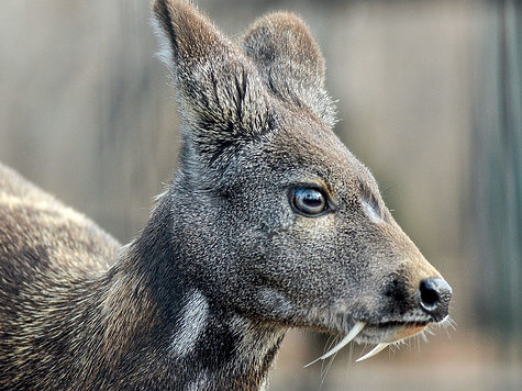 Siberian musk deer spotted in Kazakhstan - AKIpress News Agency
